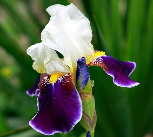 iris identification which type of iris do i have. Black Bedroom Furniture Sets. Home Design Ideas